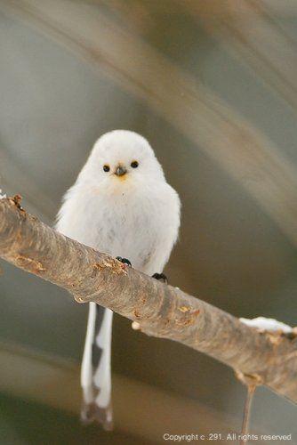 雪の妖精ことシマエナガが可愛すぎてキュンとする!シマエナガってこんな鳥!   ギャザリー