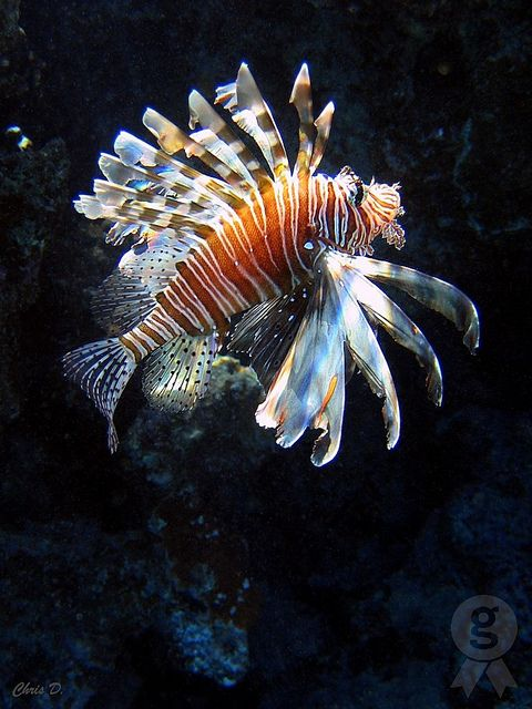 Rotfeuerfisch by ZbigD on Flickr.