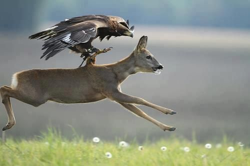 Notice this eagle has falconry gear on. Eagle Hunting Deer. Incredible.