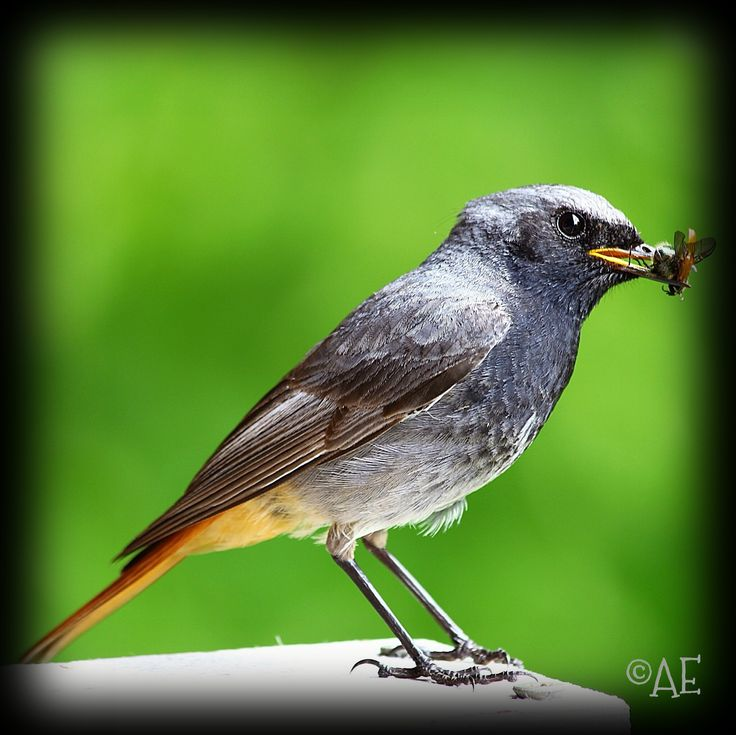 Black Redstart by AngelEowyn