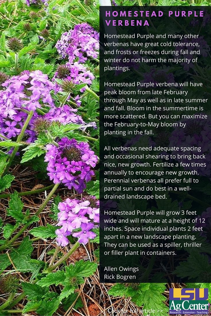 Flowers you can plant in the fall - These Generally Low Growing Plants Produce Clusters Of Showy Flowers In A Wide Variety Of Colors Homestead Purple Verbena Is Considered One Of The Very