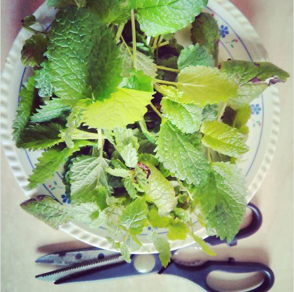 #foraging #lemonbalm #melissa from my massage #herbalmedicine school #garden Για μαθήματα βοτανοθεραπείας, δείτε την ιστοσελίδα μας.