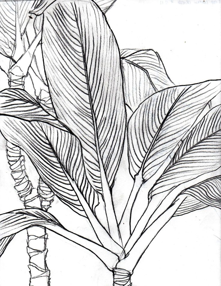 Contour Line Drawing Of A Plant : Line art drawings bing images coloring pages for