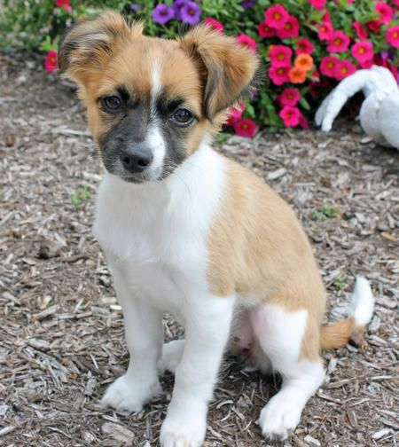 chiuaua jack russell terrier mix 51 best jack russell chihuahua mix images on pinterest 8668
