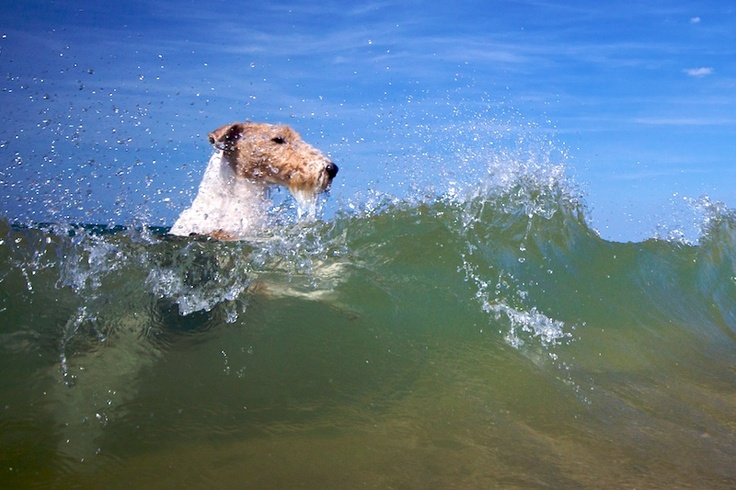 My WFT's (Kim) kennel name was Baxee Submariener and he loved swimming underwater! :)