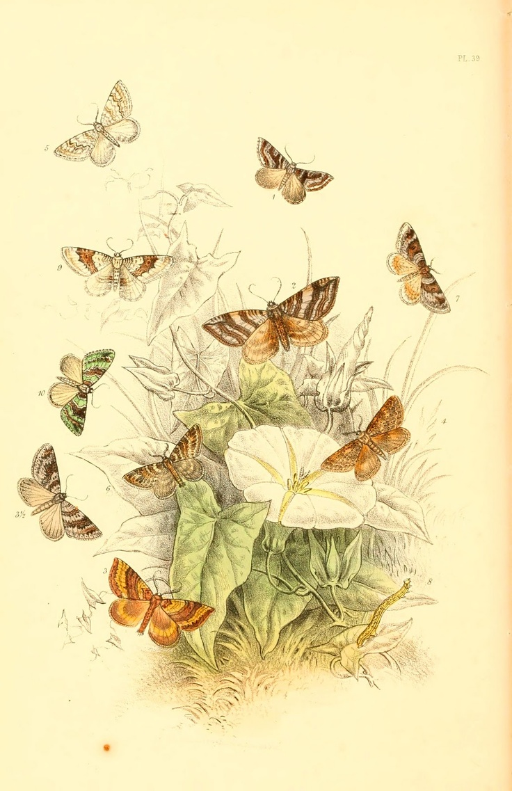 1000 images about metamorphosis butterfly wings colored plate moths 1860