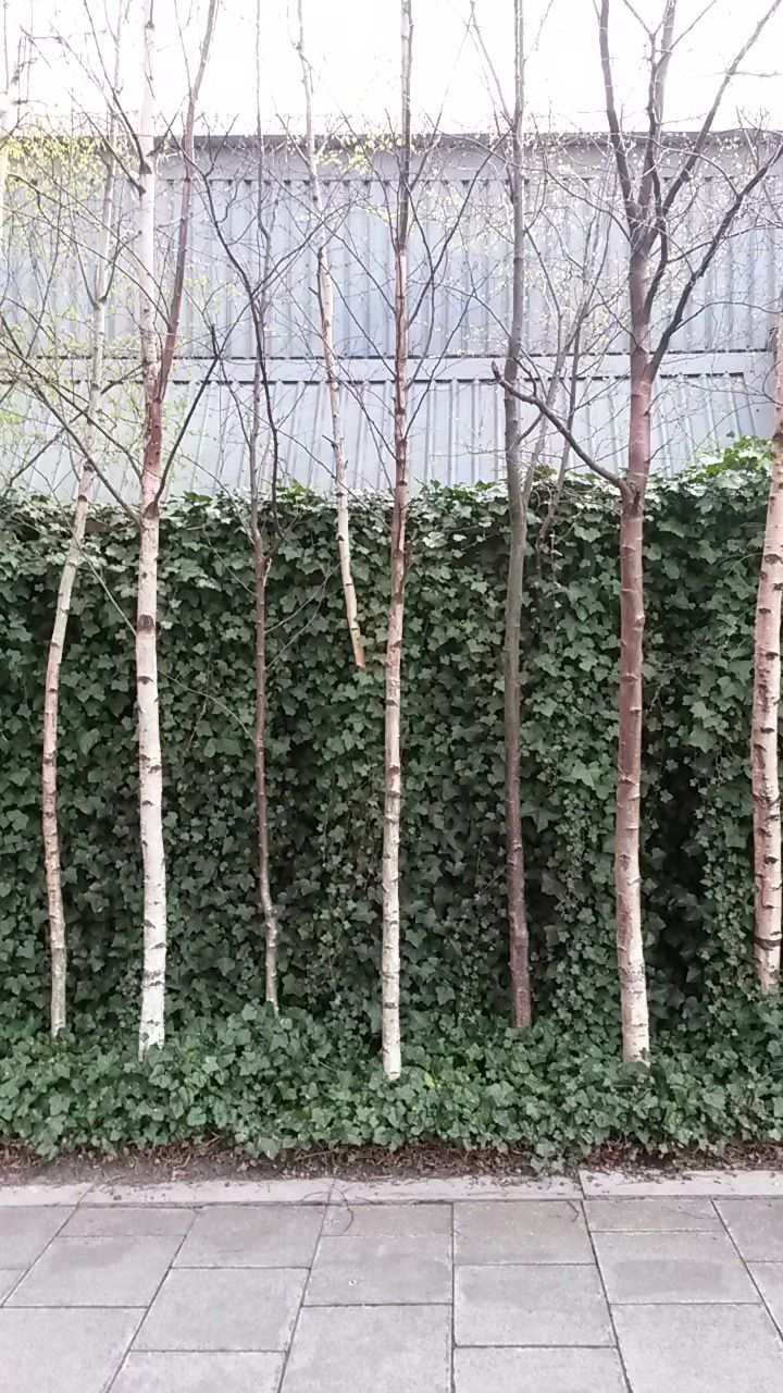 Ivy wall and betula trees at Union Canal, Edinburgh