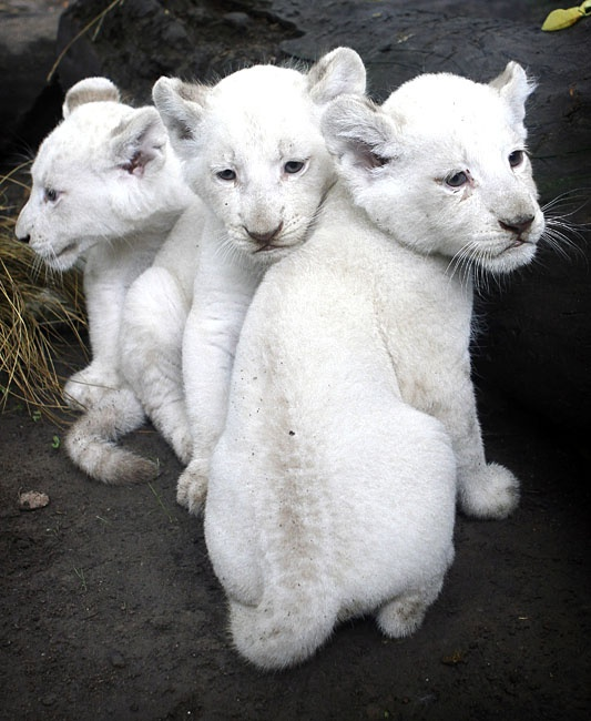 Baby albino lions! | Tigers, Lions, Mountain Lions/Cougars ...