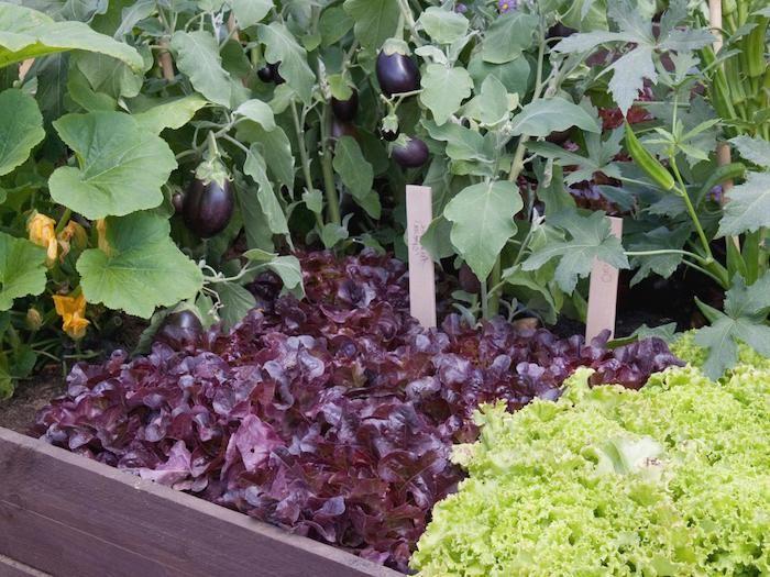 Aubergine in Hochbeet bepflanzen rote Blätter und einen grünen Salat