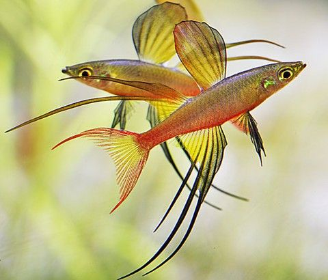 53 Best Fish For The Aquascape Images On Pinterest Fish