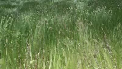 Beautiful waving grass of wilderness - HD stock video clip