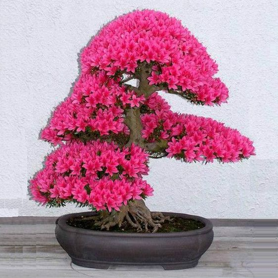"[aebox title=""Bonsai Tree japanese sakura seeds 10pcs ,bonsai flower Cherry Blossoms"" price=""US $0.57"" url=""http://s.click.aliexpress.com/e/zf2vvvvNJ"" image=""http://g02.a.alicdn.com/kf/HTB1FqVoIpXXXXXwXVXXq6xXFXXXw/-font-b-Bonsai-b-font-font-b-Tree-b..."