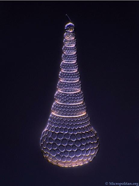 Cyrtopera laguncula