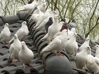 Pigeon Repellent Sounds
