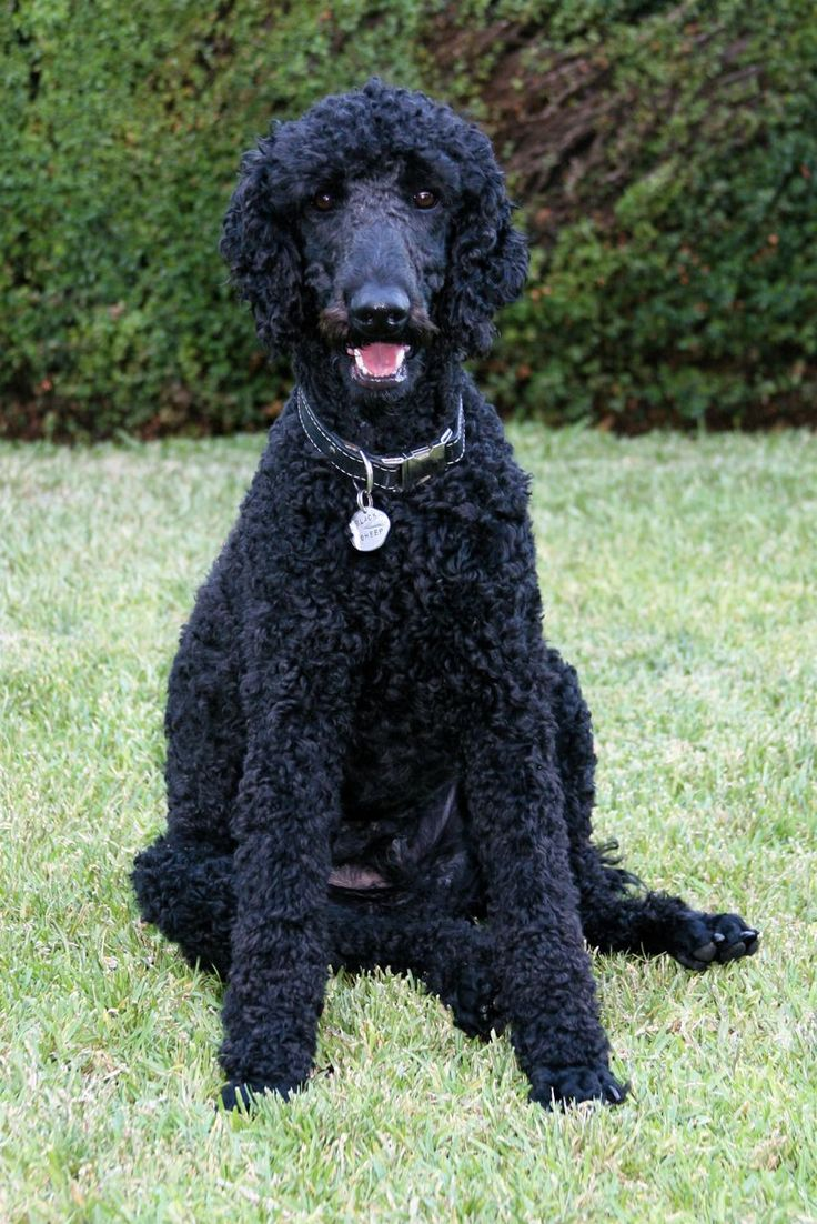 Of course, there's always the standard poodle.  Of course, my fence is only 6', so it wouldn't keep a poodle in very long, and none of those completely rediculous hairdos.