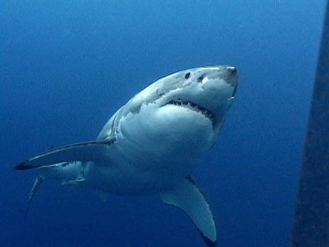 Perhaps best known for its role as the antagonist in the film Jaws, the Great White shark is probably the world's most feared animal, and easily the most fearsome of the sharks.  Jonathan travels to Mexico to meet a Great White up close and personal.  Nothing can prepare him for the sheer size and strength of a fully grown Great White shark!  He...