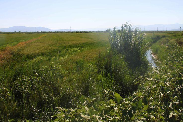 Campos de arroz en verano en el Delta del Ebro, Cataluña. Visita mi web para ver más fotos: https://unachicatrotamundos.wordpress.com