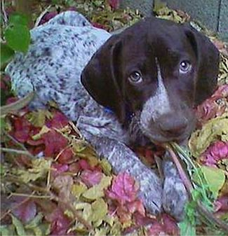 German Shorthaired Pointer- YUP still want one!