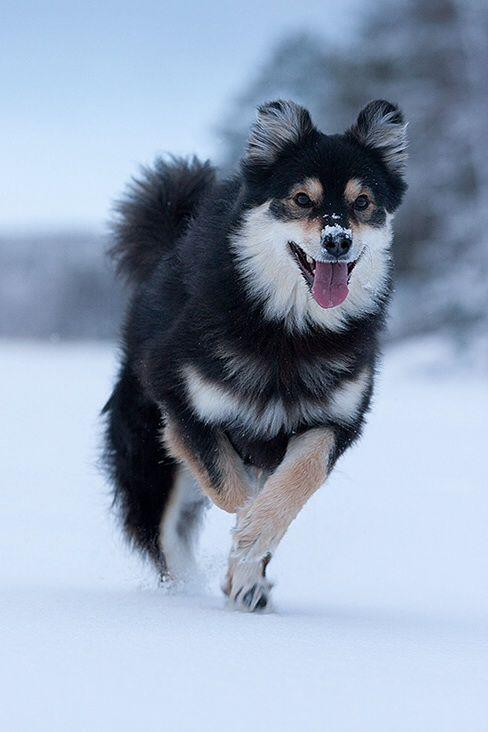 The Finnish Lapphund blog