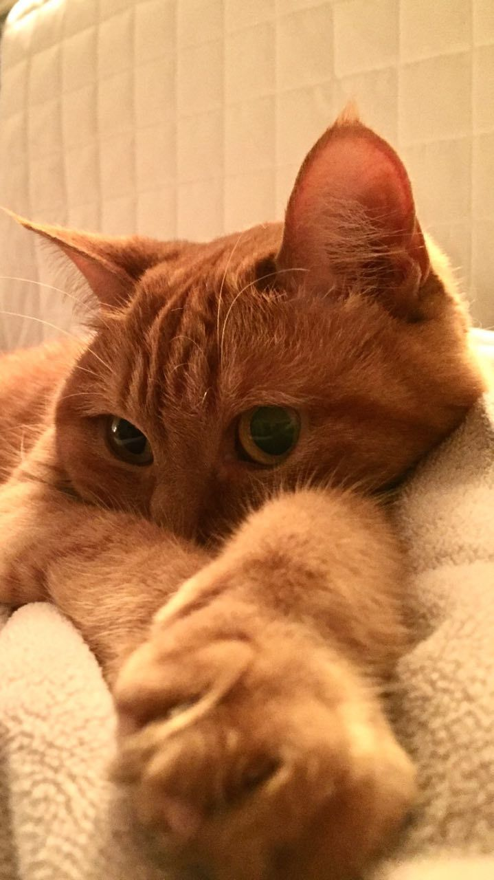 Pin By Sumi Schumi On Pet Love In 2020 Orange Tabby Cats Kittens Cutest Cute Cats