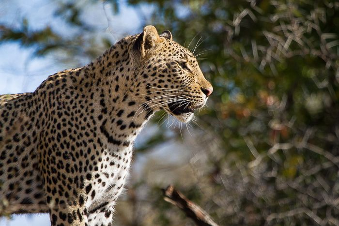 My favourite female leopard, the Tamboti Young Female stares off into the distance as the sun catches her beautiful, shimmering coat. Photograph by Callum Gowar