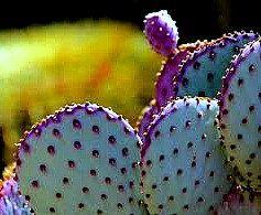 Opuntia Santa Rita Cactus, 15 seeds, purple pads, yellow flowers, magenta fruit, Opuntia violacea