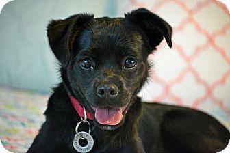 Hagerstown, MD - Pug/Labrador Retriever Mix. Meet Lettie Faye, a puppy for adoption. http://www.adoptapet.com/pet/18553997-hagerstown-maryland-pug-mix