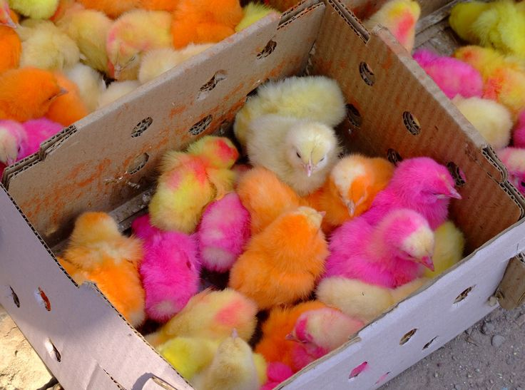 Colored Chickens in a box from Pakistan: It's not a typical photograph I'd ever include in my gallery. But, it is perhaps strangely, very popular.     Taken in Peshawar Pakistan following a journey through the Khyber Pass. There was a small street market, and on a corner this man with several open cardboard boxes with these colored chickens for sale.     Controversial to many, in Pakistan the chickens are dyed to make them more attractive for sale.