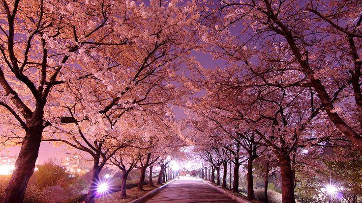 Kirschblüten bei Nacht - China, Japan und Korea streiten sich um den Ursprung der Sakura | © Emy ^^ via Flickr