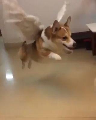 Corgi dog starts flying