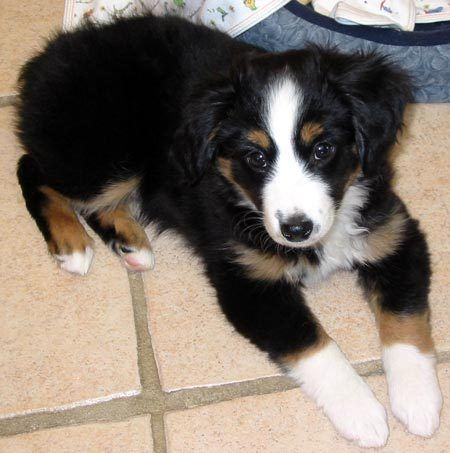Miniature Australian Shepherd | Mateo the Mini Australian Shepherd | Puppies | Daily Puppy