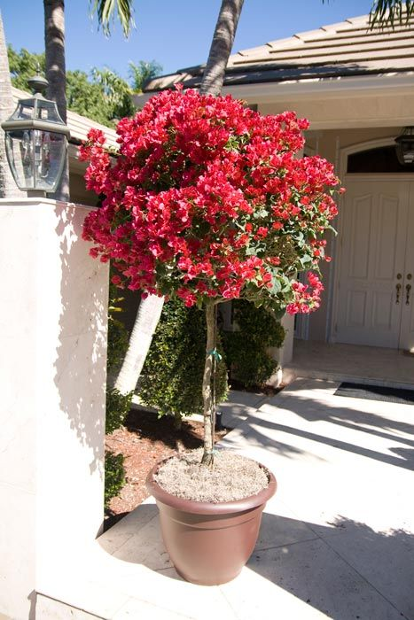Bougainvillea standard in a pot | Standards and Topiary ...