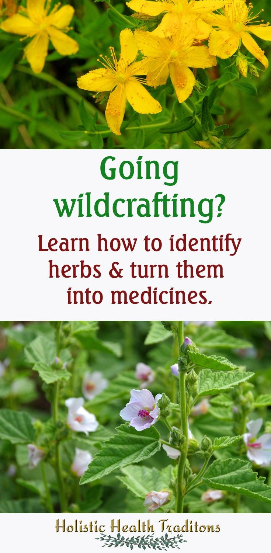 Backyard Medicine book review: wildcrafting, wild crafting, herb identification, herbal medicine making