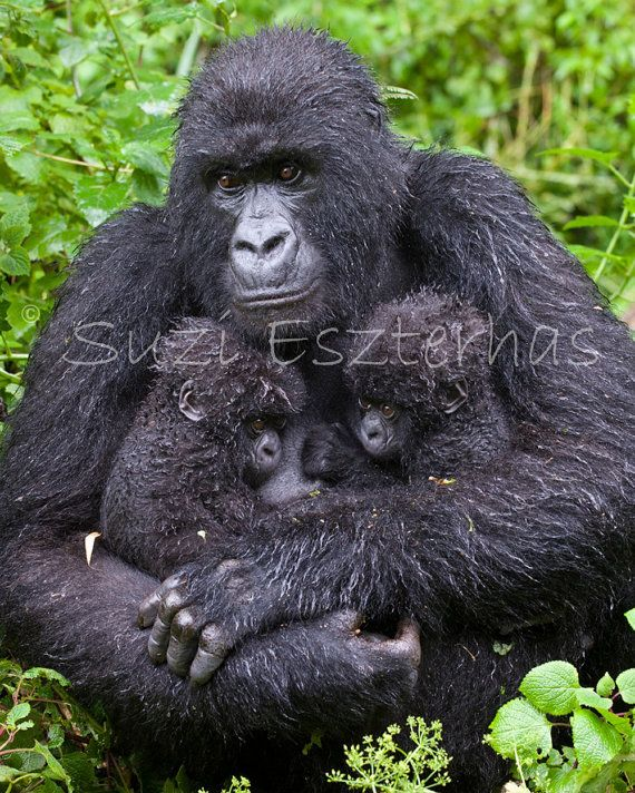 GORILLA and TWIN BABIES Photo- 8 X 10 Print - Baby Animal Photography, Wildlife Photography, Wall Decor, Nursery Art, Jungle, Monkey, Mother on Etsy, $24.00