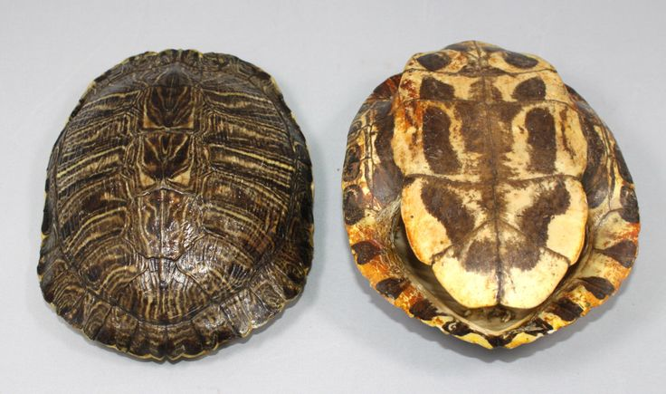 Turtle Shell by SpiritBayTrading on Etsy https://www.etsy.com/listing/150634397/turtle-shell