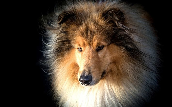 Download wallpapers Collie, big furry dog, pets, dogs