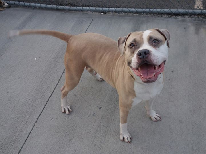 Brooklyn CenterCHIA - A0988790MOST RECENT SAFER: **EXPERIENCED HOME, NO CHILDREN** (3/27/14):FEMALE, TAN / WHITE, PIT BULL MIX, 3 yrsSTRAY - STRAY WAIT, NO HOLD Reason ABANDONIntake condition NONE Intake Date 01/04/2014, From NY 11434, DueOut Date 01/07/2014,Medical Behavior Evaluation GREENMedical Summary scan negative female, ~3yrs old mild gingivitis vomit and soft formed stool before exam fecal sample taken, parvo and fecal float; neg bleeding at tip of tail, cleaned with nolvasan and…