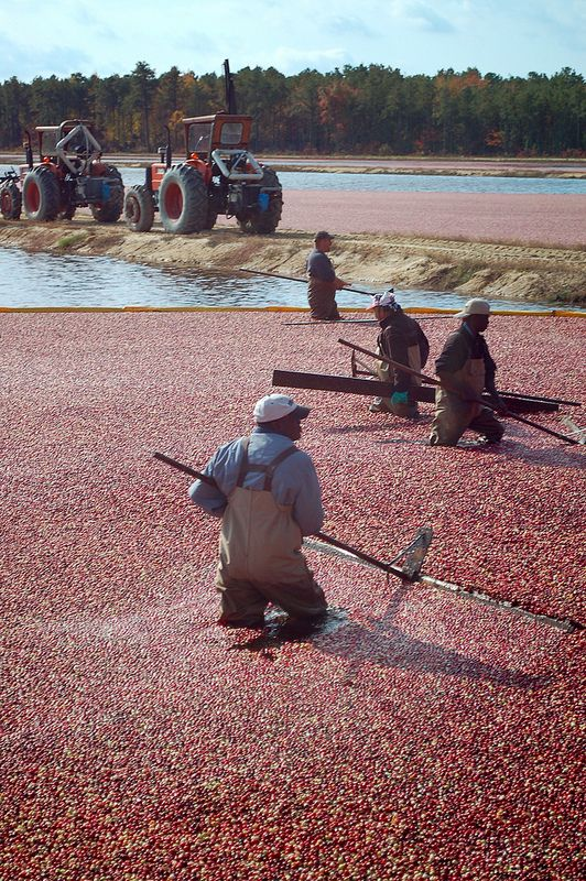 Cranberry Harvest - Pine Barrens, New Jersey