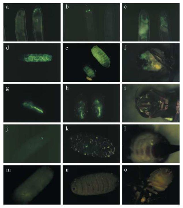 Germ line transformation of the olive fly Bactrocera oleae using a versatile transgenesis marker.