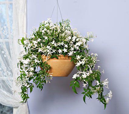 13 best jasmine images on pinterest jasmine blossoms. Black Bedroom Furniture Sets. Home Design Ideas