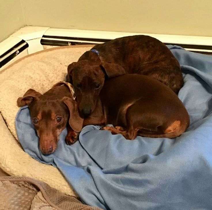 All dachshunds love to use each other as chin rests.