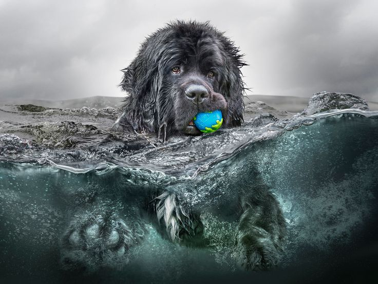 Morris the Newfie in his element...