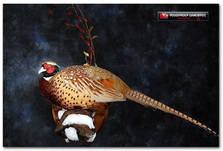 Best Pheasant Mount I've seen.