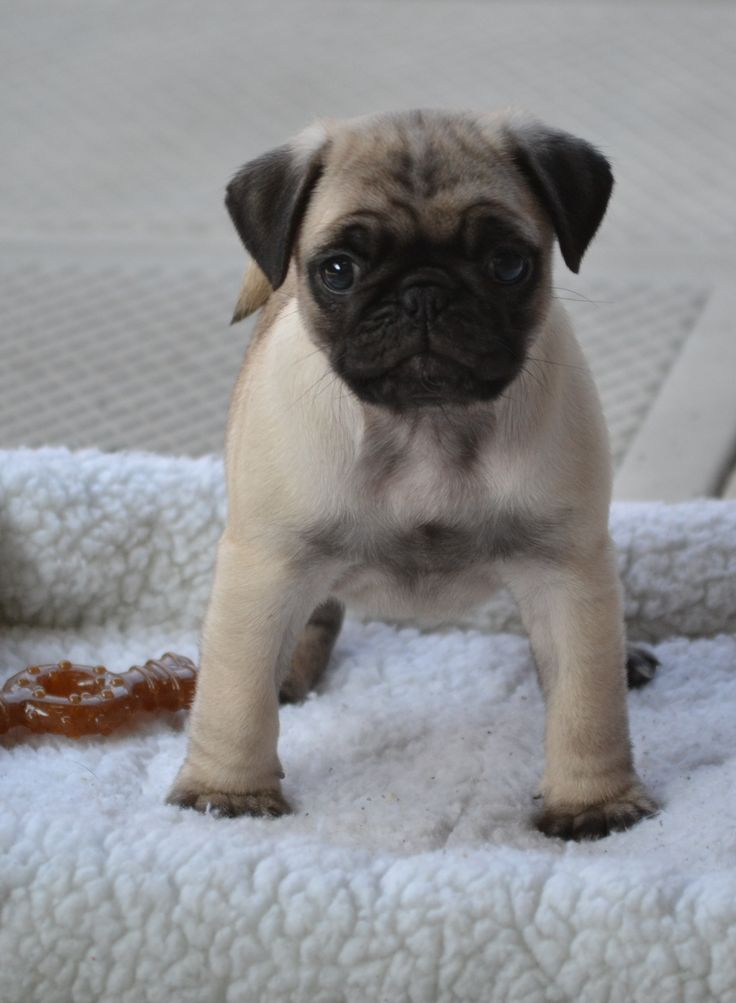 Fall Puppy Wallpaper 1233 Best Cute Pug Puppies Images On Pinterest Baby