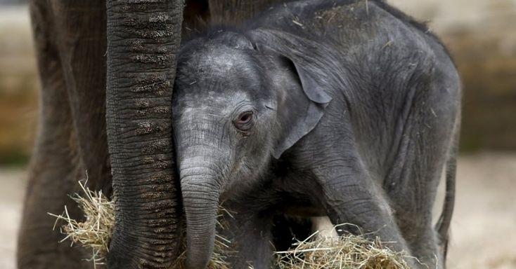 Elefante asiático recém-nascido se aconchega perto da mãe no parque de vida selvagem Pairi Daiza, em Brugelette, Bélgica.  Fotografia: François  Lenoir / Reuters.