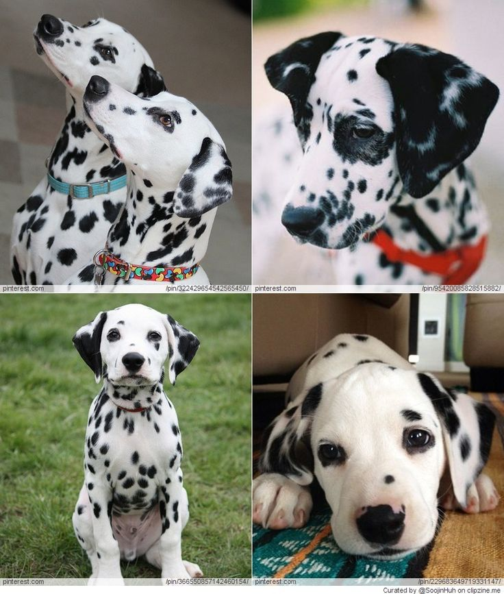 Dalmatian LOVE Cute dog pictures, Raining cats and dogs