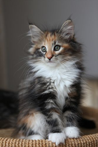 Norwegian Forest Cat. Give me!  Clearly I want a big fuzz ball and a Sphinx