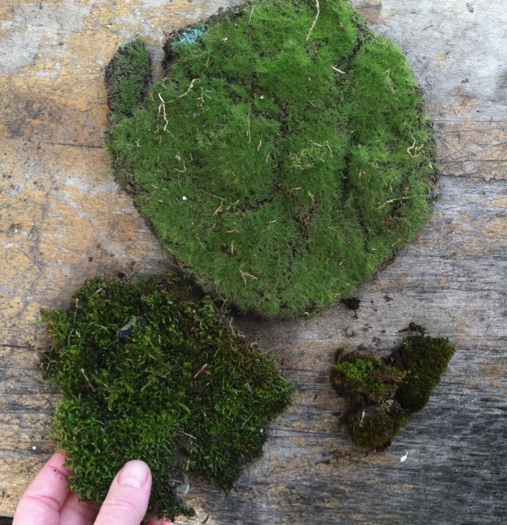All About Fairy Garden Moss. What they aren't telling you.