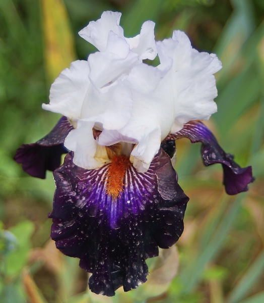The 103 Best Iris Images On Pinterest Irise Irises And Lilies