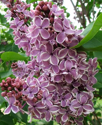 Canadian Lilac - my favorite, smells heavenly - used to run thru as kids